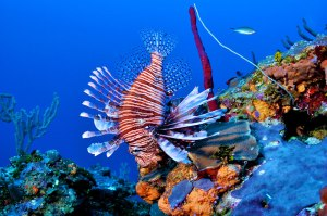 Grand-Cayman-lionfish